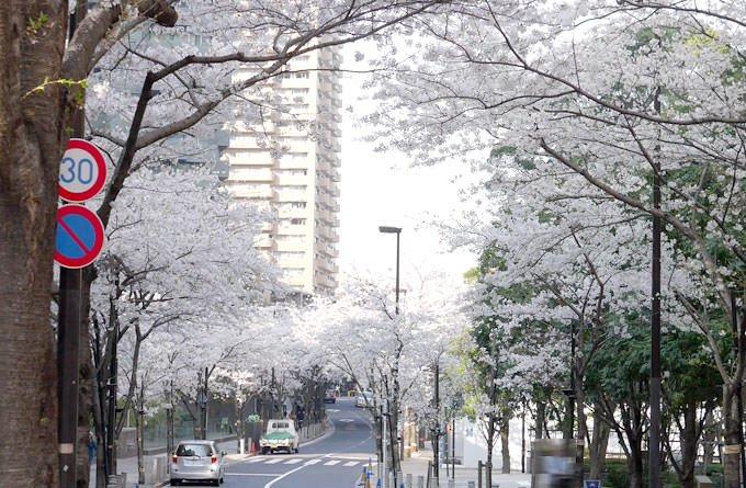 アークヒルズ 桜並木