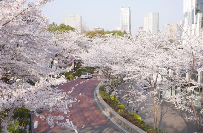 東京ミッドタウンの桜並木
